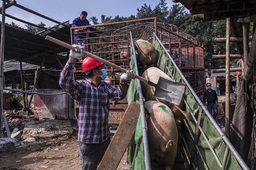Using a shovel, a worker guides pigs onto the back of a truck at an unlicensed hog farm broken up by officials in the Huangpu district of Guangzhou on Dec. 6. Photo: VCG_Gallery: Authorities Break Up Illegal Hog Farm in Guangzhou
