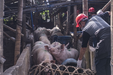 Workers corral pigs at the farm. Nearby residents reported being disturbed by the stench. Photo: VCG