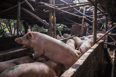 Hogs were crammed into small, unhygienic sheds at the illegal piggery, situated next to Fenghuangshan Park in Guangzhou. Photo: VCG