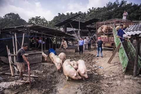 After passing quarantine, nearly 2,000 pigs were acquired by a local meat-processing factory and sent to the slaughterhouse. Photo: VCG