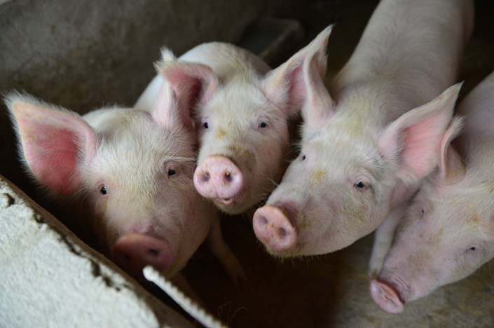 Pigs on a farm in Fuyang, Anhui province on Dec. 5. Photo: IC