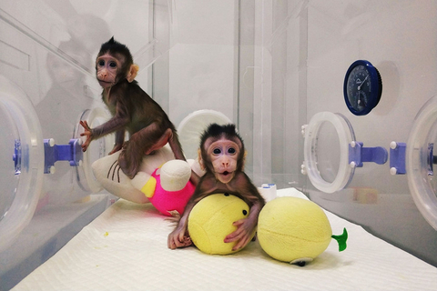 Zhong Zhong and Hua Hua, the first two primates ever cloned using the nuclear transfer cloning technique, are pictured on Jan. 20 in Suzhou, Jiangsu province. Photo: VCG