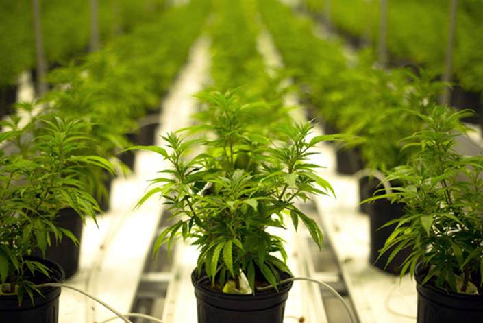 Cannabis plants. Photo: Bloomberg