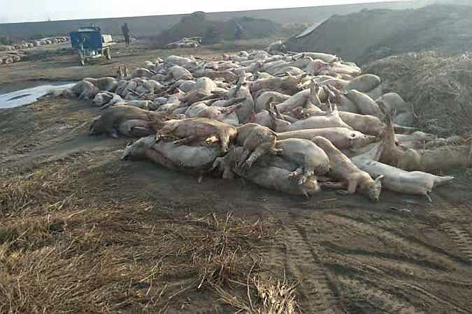 Dead pigs at the Xinda livestock farm in Baoding, Hebei province, on Feb. 21. Photo: Hebei Dawu Group
