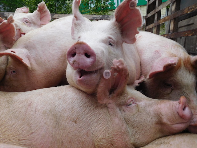 China Lifts Lockdown on Transport of Pigs and Pork in 23 African