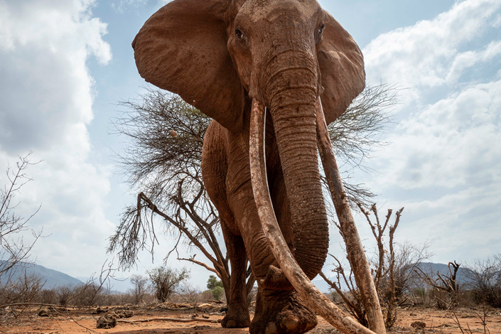An elephant in Tsavo, Kenya on March 13. Photo: IC