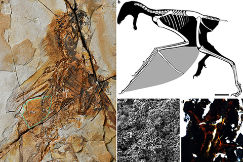 Images of the 163 million year old bat-winged dinosaur, including: a fossil; a diagram of the dinosaur; a close-up of the inside of its stomach including small stones swallowed by the dinosaur. Photo: Wang Min/Institute of Vertebrate Paleontology and Paleoanthropology