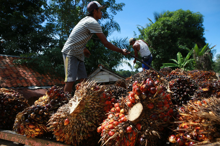 Workers harvest oil palm in South Sumatra, Indonesia, on April 14. Photo: IC Photo