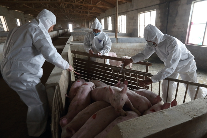 Workers vaccinate hogs in March 2013 in East China's Zhejiang province. Photo: VCG