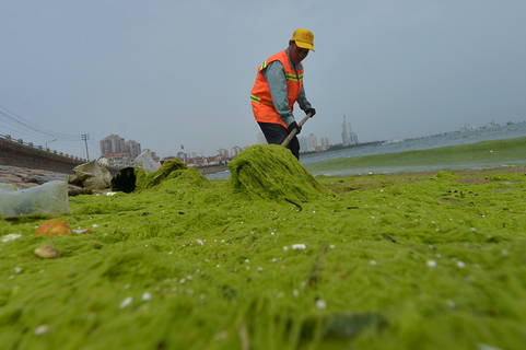 A cleaner shovels seaweed from the seashore on June 25. Photo: VCG