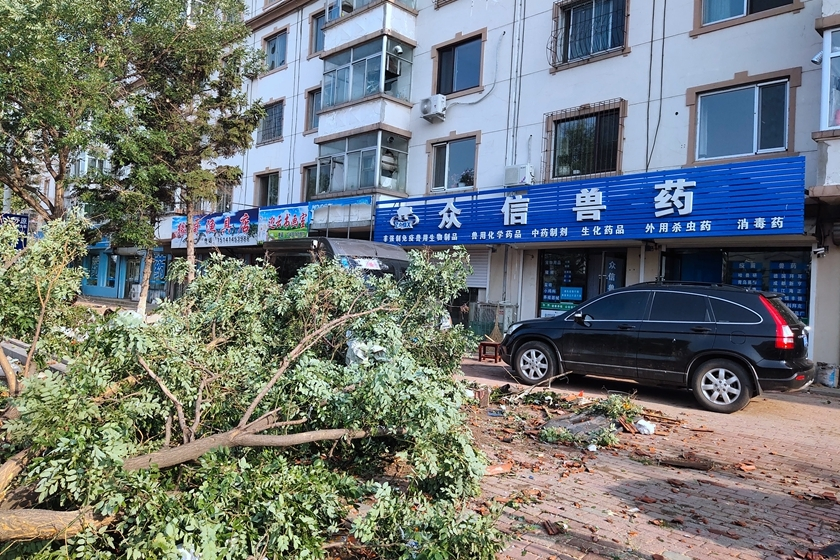 A tree torn down by the tornado remains on the ground. Photo: IC Photo_Gallery: Tornado Kills Six in China's Northeast