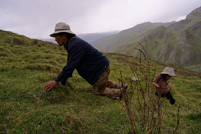 1.	In the mountains behind Gyana in Qinghai province, Sonam Chimey and his 4-year-old daughter climb to 4,500 meters to search for cordyceps on June 9. This morning, they have found none, and they must climb higher. The fungus is getting harder and harder to find. Photo: Guo Xianzhong/Caixin