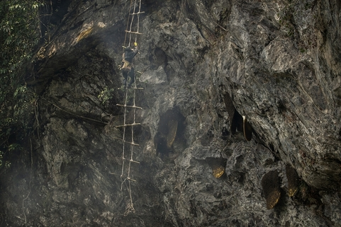 A makeshift ladder hangs from a cliff on May 10. Finding hives is getting harder as bee populations are hit by pesticides and global warming. Photo: VCG