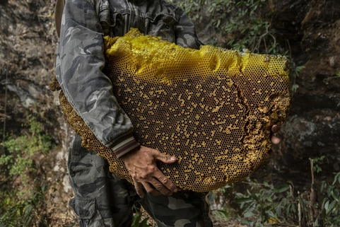 A honey hunter holds a large piece of honeycomb collected from a cliff-side hive on May 10. Photo: VCG