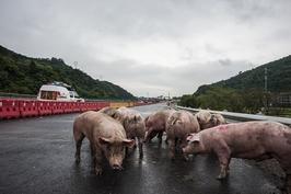 中国首例非洲猪瘟疫情确诊一周年