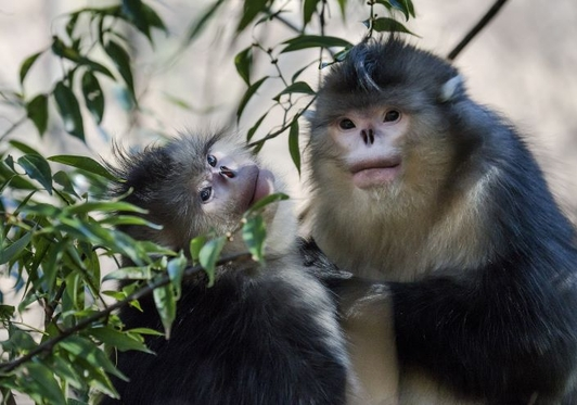 Yunnan Village Works to Protect Development-Threatened Rare Monkey