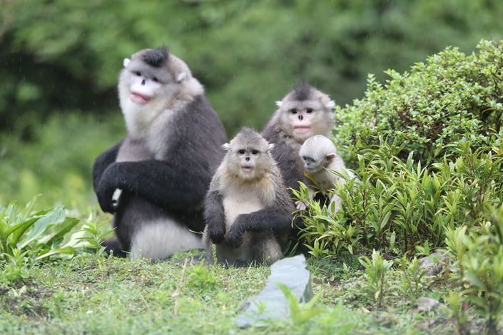 Yunnan snub-nosed monkeys in the Baima Snow Mountain Nature Reserve in Southwest China's Yunnan province on June 12. Photo: IC Photo