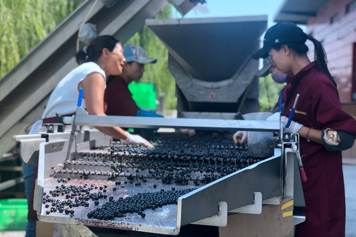 Silver Heights workers busy devining Merlot grapes in September 2019. Photo: Zhang Mei