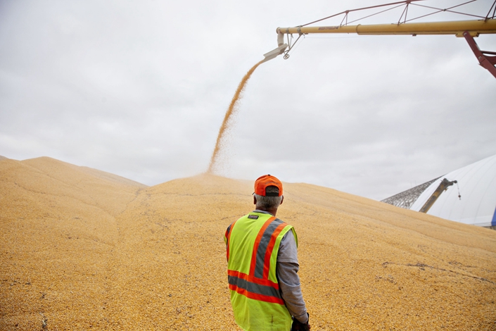 A worker monitors corn as it is loaded into an outdoor storage bunker in Sheffield, Illinois, U.S., Oct. 2, 2018. Photo: Bloomberg