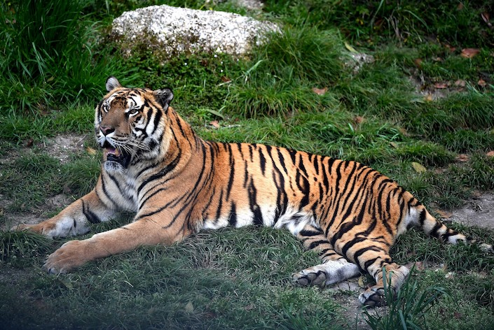 A South China tiger at a wild animal park in Longyan, Fujian province, on April 11, 2018. Photo: VCG