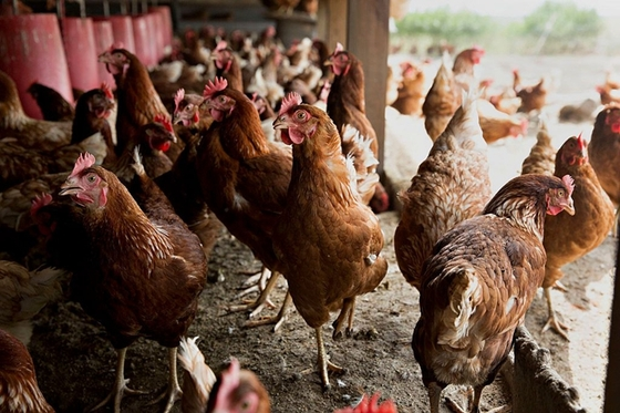 China Lifts Ban on U.S. Poultry Even as Farm Buys Bog Down Talks