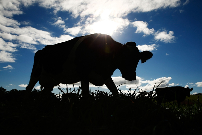 Cows graze on Van Diemen's Land dairy farm in Tasmania, Australia, on May 30, 2016. Photo: Bloomberg
