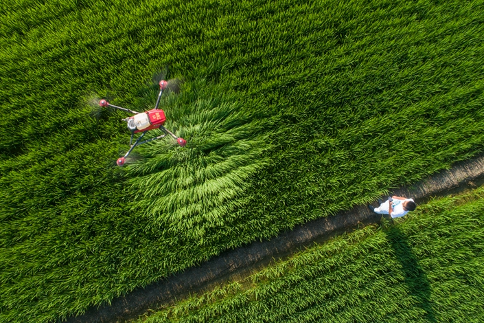 Agricultural workers use drones to protect rice fields in Haian, East China's Jiangsu province, in August 2018. Photo: IC Photo