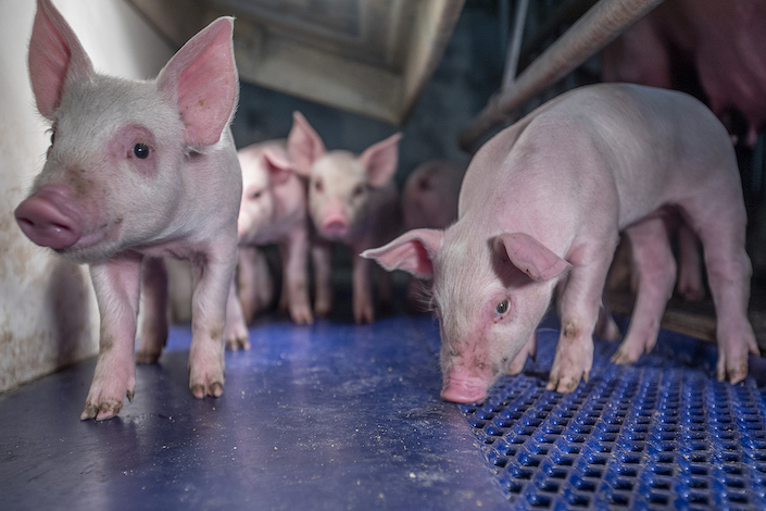 China's small pig farmers are stuck in a financial mire following the swine fever disaster. Photo: VCG