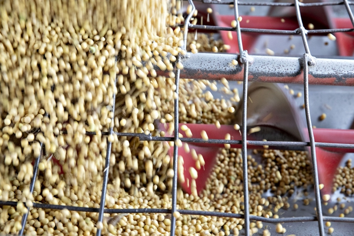 Soybeans are unloaded from a semi truck at a farm in Wyanet, Illinois, on Oct. 19. Photo: Bloomberg