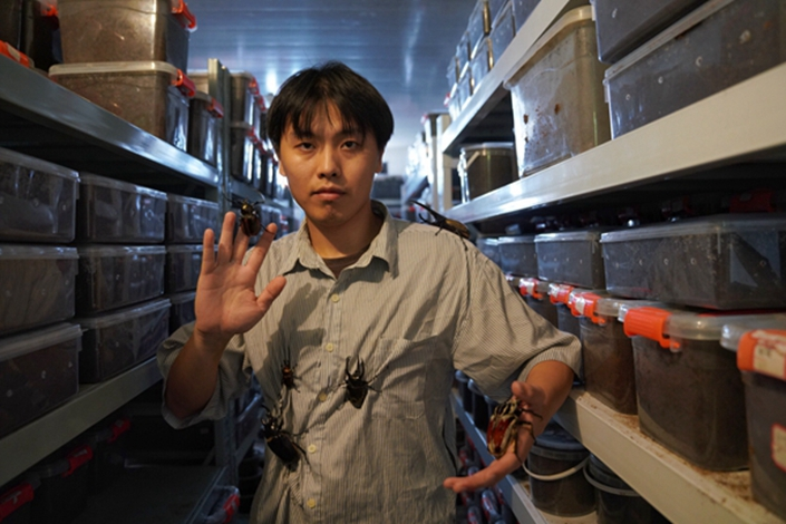 Wang Jieren in his insect house. He rents these bungalows in Haining, Zhejiang province, to raise the beetles. Photo: Caixin