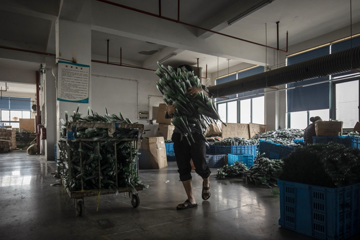A worker carries Christmas trees branches off a production line in October 2018 at a factory in Yiwu, East China's Zhejiang province. Photo: Bloomberg