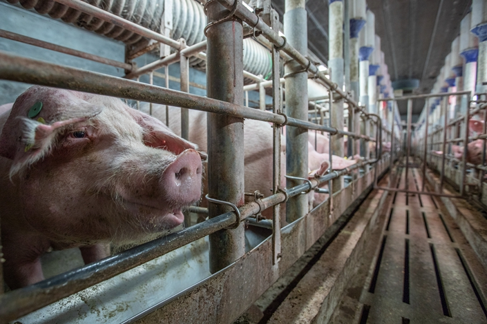 China's big hog producers have seen revenues climb as much as 45% owing to tight domestic supply on the back of the swine fever crisis.