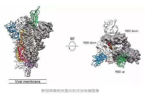 《科学》:新冠病毒S蛋白冷冻电镜图公布 与SARS高度同源