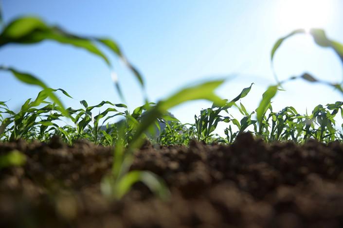 Young sorghum plants grow on farmland in Kununurra, Australia, on July 30, 2015. Photo: Bloomberg