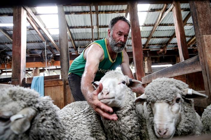 Farmer shears sheep on a farm near town of Uralla, New South Wales, Australia, Feb. 19. Photo: VCG