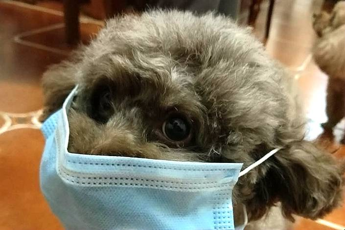 News of a dog testing positive for the Covid-19 virus has led some dog owners to put masks on their pets. Photo: Caixin