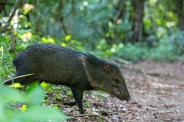 China reports its first case of African swine fever for this year in Hubei province, where seven wild pigs have died. Photo: VCG