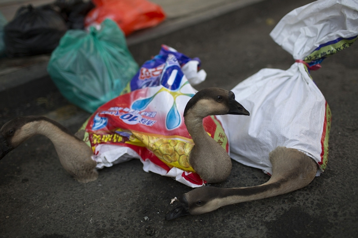 Geese sit wrapped in bags outside a market in the Luohu district of Shenzhen on Dec. 20, 2013.  Photo: Bloomberg