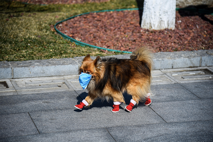 A dog has been outfitted with a mask for its walk in a park in Beijing on March 9. Photo: IC Photo