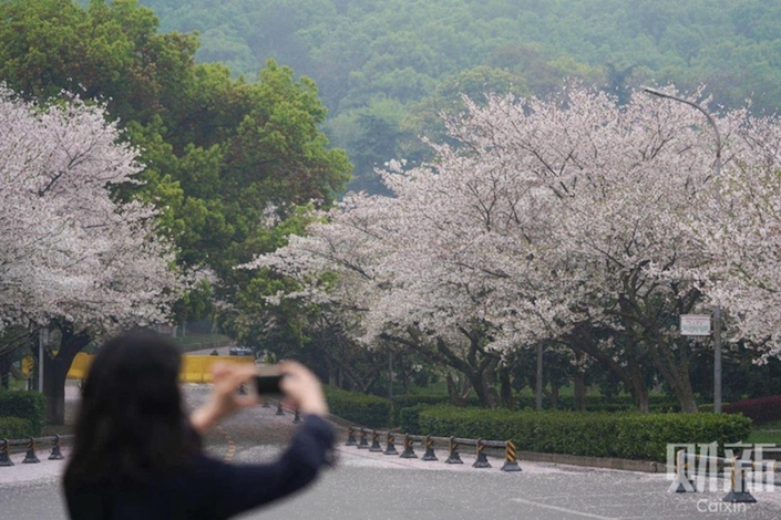 A Wuhan University staffer takes a photo of cherry blossoms. Photo: Ding Gang/Caixin
