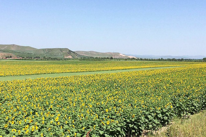 Fields of sunflowers line the highways of Xigangou, Inner Mongolia, in 2016. Photo: Interviewee