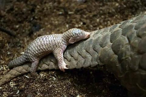 国家林草局:穿山甲调整为国家一级保护动物