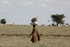 肯尼亚蝗灾持续肆虐 沙漠蝗虫漫天