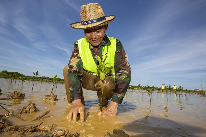 A worker plants a mangrove tree on July 8 as part of a wetlands restoration project at a nature teserve in Haikou, South China's Hainan province.