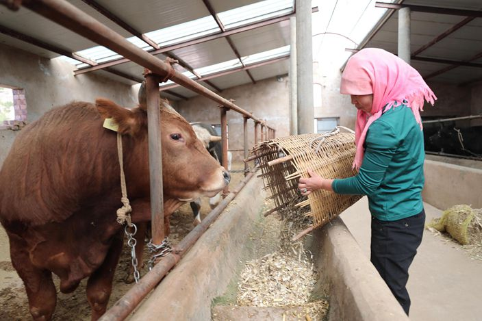 In Haiyuan county, Ningxua Hui autonomous region, many rural people have bought cows with government funds for poverty alleviation.