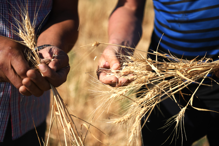 Farmers show their harvested wheat crop on July 21 in a field in the Xinjiang Uygur autonomous region.
