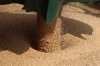 优质小麦需求上涨 2020年以来小麦进口量翻倍