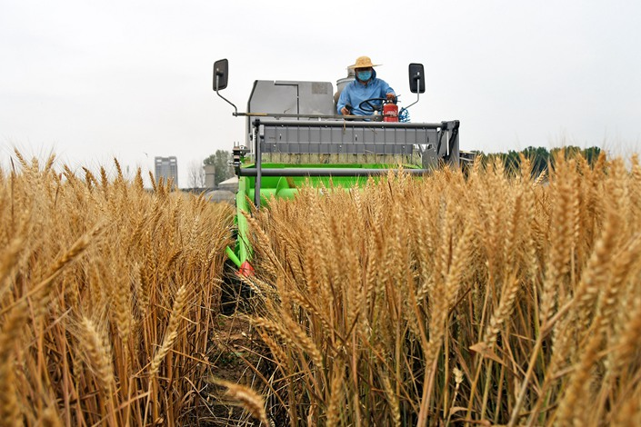 A farmer uses a harvester to harvest wheat on June 18 in Yantai, East China's Shandong province.