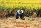 农业农村部:粮食市场阶段性波动 全年丰收关键看秋粮