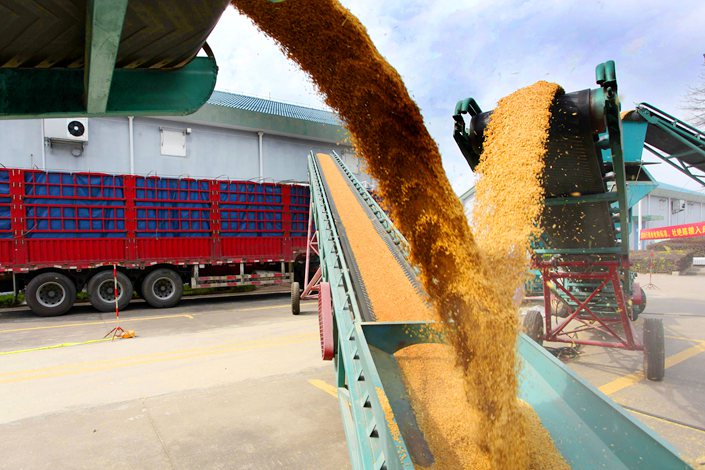 Grain is deposited at a depot in Wenling, Zhejiang province, on July 23.